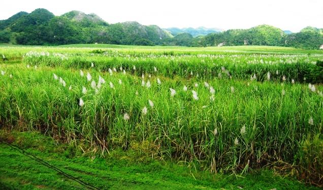 Appleton Sugar Cane in Jamaica by marktravel