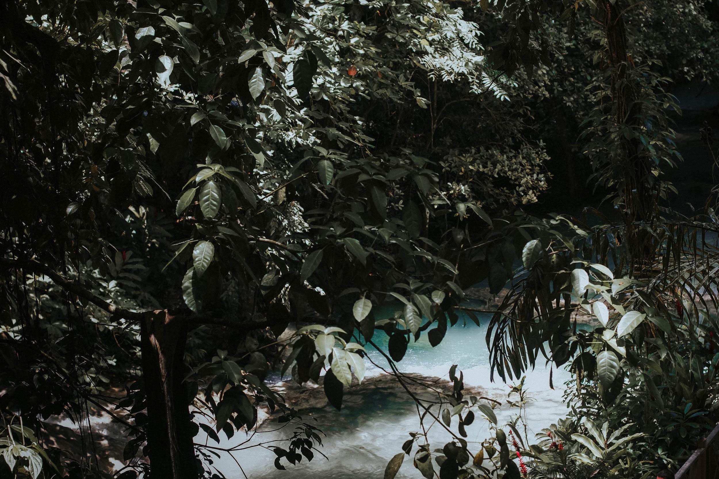 Coffee plants in Jamaica