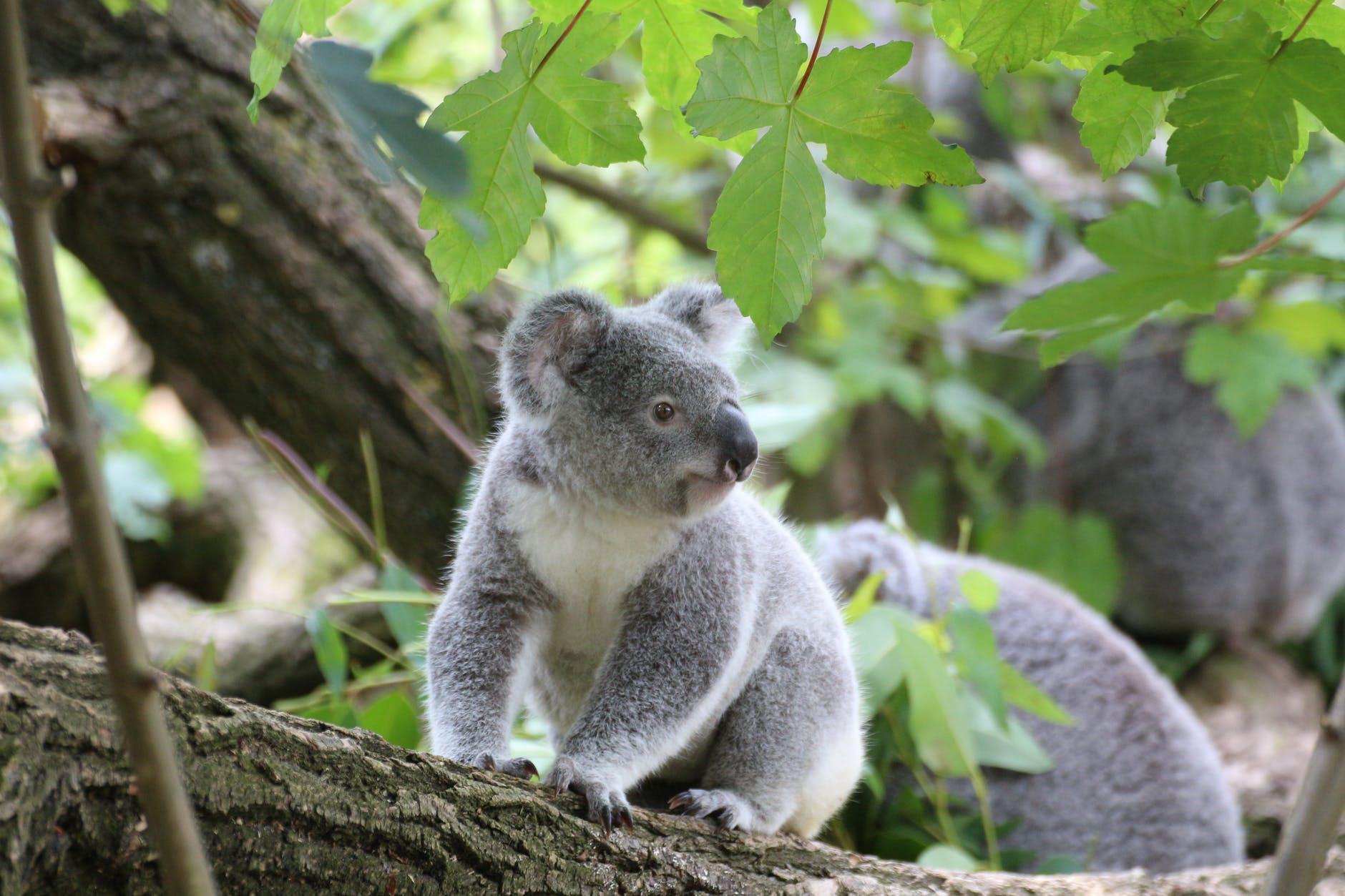 Koala bears sitting on a tree in Australia